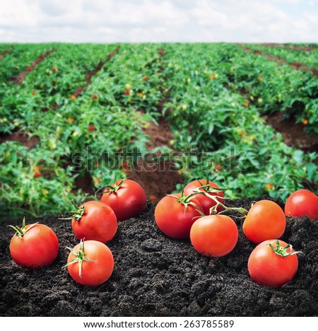 harvest of ripe red tomato on the ground on the Field. Focus on the tomato in the foreground - stock photo