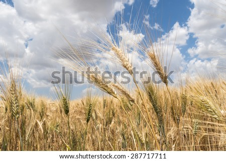 Harvest of ripe wheat - stock photo