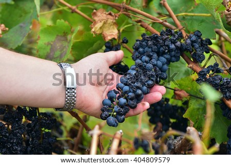 Harvest of several clusters of black grapes on a vine during wine making season in autumn. A male worker's hand holding one of the clusters and showing it to a viewer - stock photo