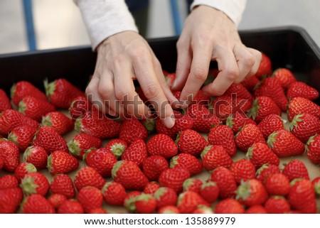Harvest of strawberries - stock photo