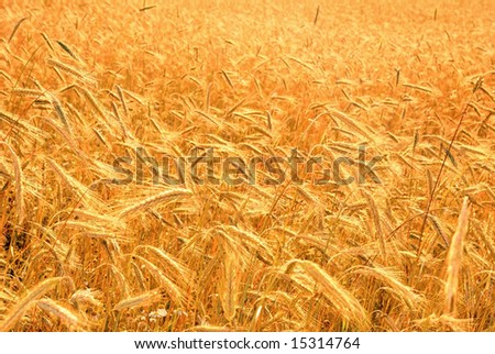 harvest of the golden wheat big field corn cultures