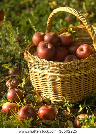 Harvest of the orchard, basket full of red apples under apple tree - stock photo