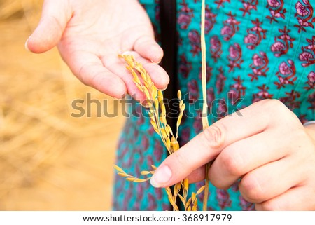 Harvest paddy rice grains on woman hand