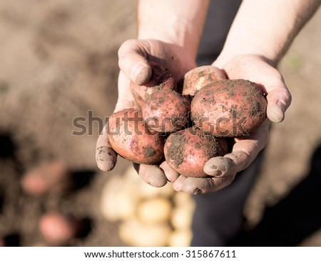 Harvest. Potato in hands, arms on ground background - stock photo