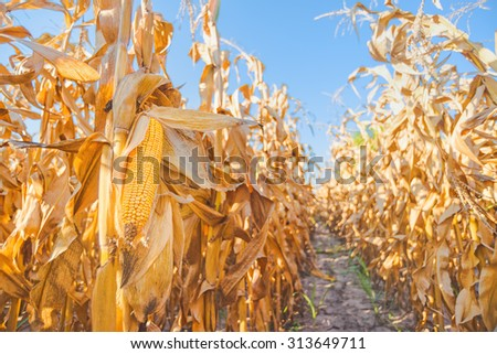 Harvest ready maize ear on stalk in cultivated corn field, close up with selective focus - stock photo