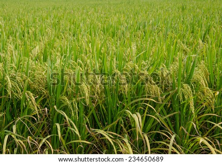 Harvest season of yellow rice ear in paddy field - stock photo