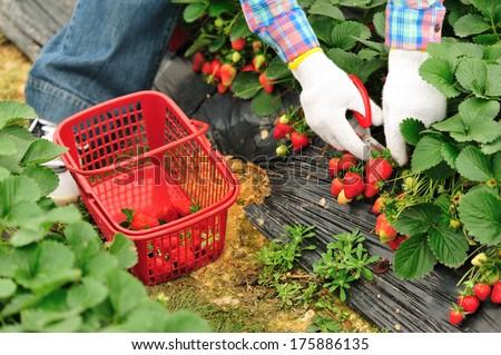 harvest strawberry in garden  - stock photo