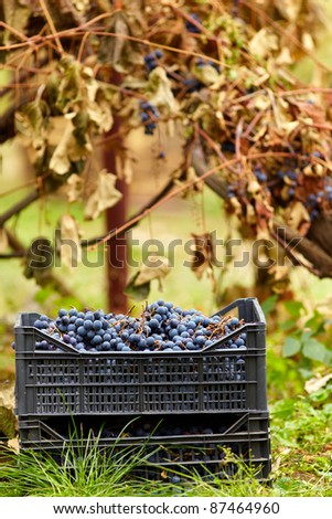 Harvested blue grapes in crates near vineyard in autumn - stock photo