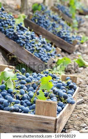 Harvested blue grapes in wooden crates at vineyard autumn time - stock photo