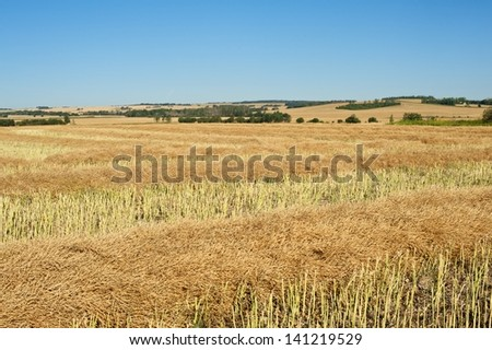 Harvested canola fields lying in swath - stock photo