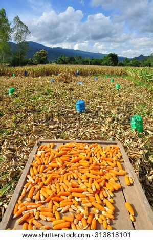 Harvested corn field - stock photo