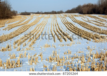 Harvested corn field under snow in January - stock photo