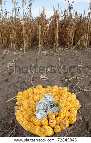 Harvested corn in a basket with dollar banknotes and field in background - stock photo