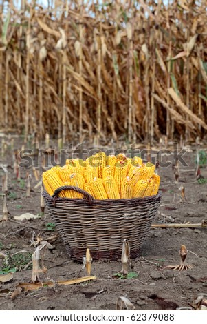Harvested corn in a basket with field in background - stock photo