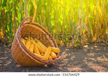 Harvested corn in wicker basket, freshly picked maize ears out in agricultural field landscape, selective focus - stock photo