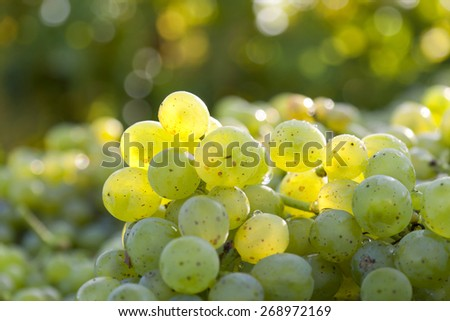 Harvested fresh white grapes in backlit during the harvest in the vineyard. - stock photo