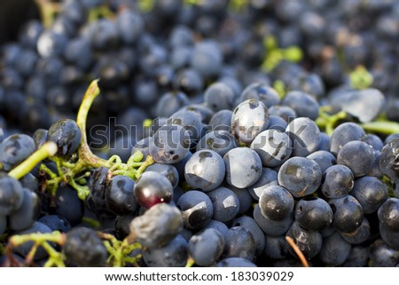 Harvested grapes - stock photo