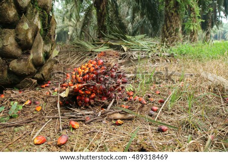 Harvested oil palm fruit on the grounds of an oil palm estate