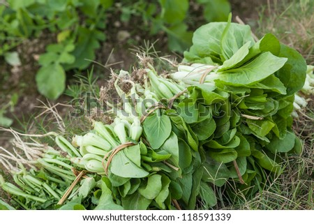 harvested vegetables in the garden,including bok choi, ternip,chinese baby cabbage, - stock photo