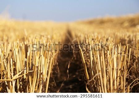 harvested wheat closeup - stock photo