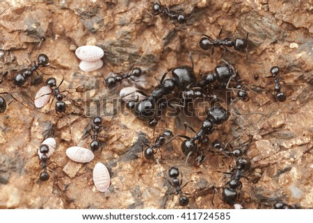 Harvester ants, group of harvester ants with scale insects, Morocco - stock photo