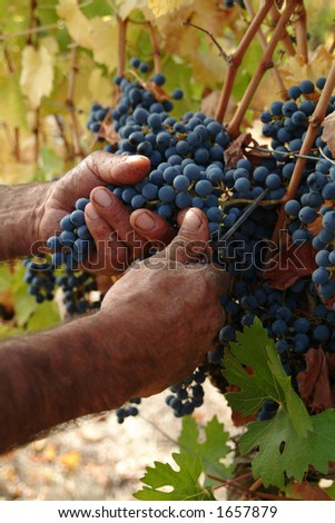 Harvester hands cutting grapes - stock photo