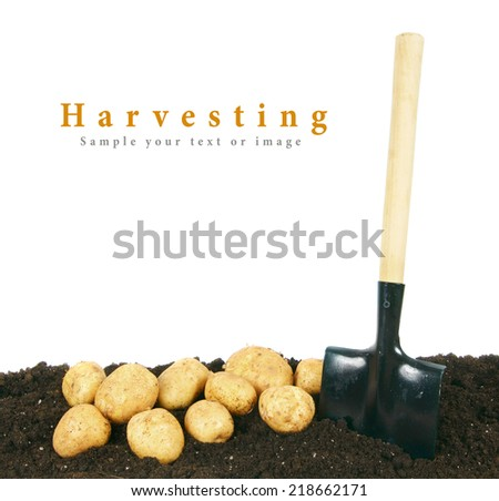 Harvesting. A fresh potato and a shovel in the earth. - stock photo