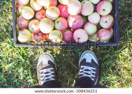 Harvesting apples - stock photo