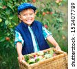 Harvesting apples. Cute little boy helping in the garden and picking apples in the basket. - stock photo