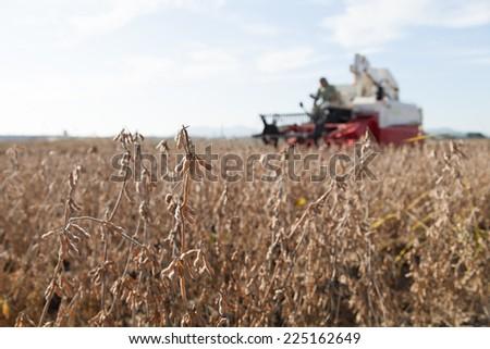 harvesting bean - stock photo