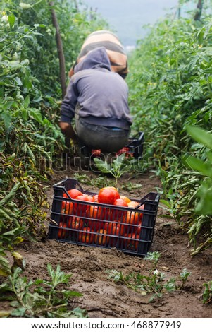 harvesting box full with red tomatoes in front of harvesting helper