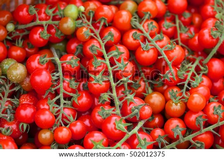 Harvesting Cherry tomatoes in cultivation
