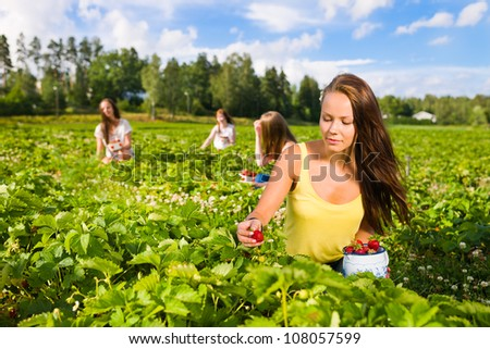 Harvesting girl on the strawberry field. Focus on her and behind group of girls, horizontal format