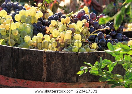 Harvesting grapes: colorful grapes inside a buscket - stock photo