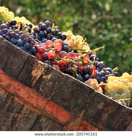 Harvesting grapes: Ripe multi colored grapes inside a bucket - stock photo