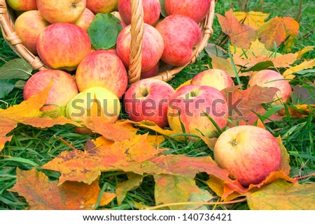 Harvesting of apples in the autumn - stock photo