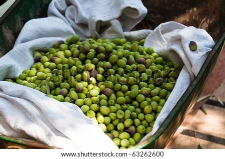 Harvesting of green olives using a wheelbarrow in Fethiye, Turkey - stock photo