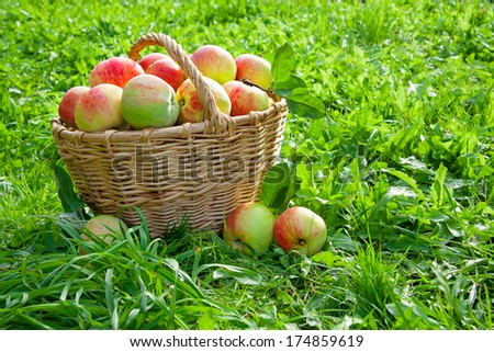 harvesting of red juicy ripe apples in the autumn
