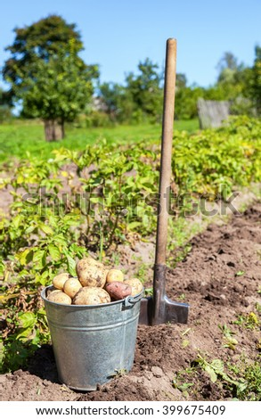 Harvesting of young fresh not  washed potatoes with metal bucket - stock photo