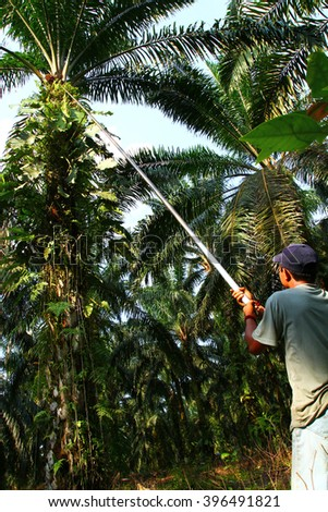 Harvesting oil palm fruits in oil palm plantation - stock photo