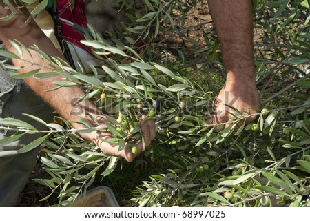 Harvesting olives by hand - stock photo