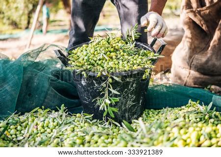 Harvesting olives in Sicily village, Italy - stock photo