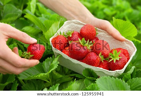 Harvesting perfect strawberries on a fresh green field - stock photo