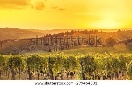 harvesting period in the Tuscan vineyard, Chianti, Italy - stock photo