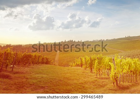 harvesting period in the Tuscan vineyard, Chianti, Italy
