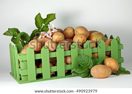 Harvesting. Photo of ripe potatoes in green box, close-up