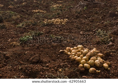 Harvesting potatoes - a picture of a farm soil with a pile of potatoes in one corner by keeping the enough Copy-Space. - stock photo