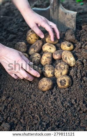 Harvesting potatoes. Female hand harvested fresh organic potatoes. - stock photo