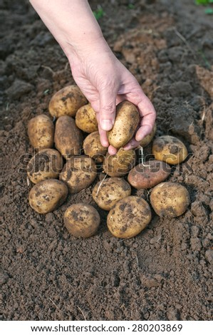 Harvesting potatoes. Female hand harvested fresh organic potatoes - stock photo