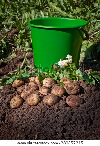 Harvesting potatoes. Fresh organic potatoes on the ground and a bucket - stock photo